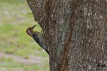 Red-headed Woodpecker Perching On Tree Trunk