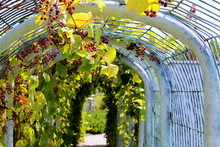 Covered Walkway With Grape Vines