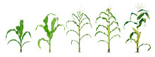 Corn Plant  Growing Isolated O...