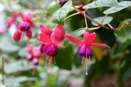 Fotografia Fuchsias Blooming In Park