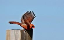 The Northern Cardinal Is A Bir...