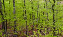 Birch Tree Forest Near Eagle Lake, Acadia National Park, Maine, USA