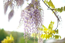 Beautiful Blooming Lilac Wiste...