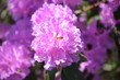 canvas print picture - Close-up Of Pink Flowers Blooming Outdoors