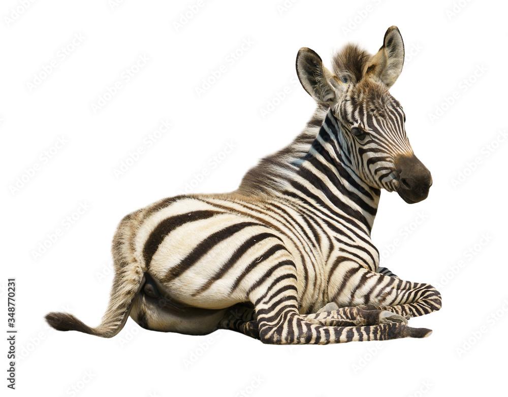 Fototapeta young zebra isolated