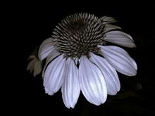 Close-up Of Coneflower Blooming At Night