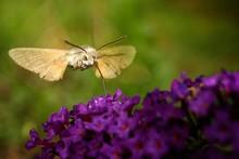 Moth By Purple Flowers In Garden