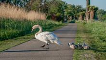 Mute Swan (Cygnus Olor) Crosses The Road. Mother Swan And Chicks / Cubs Crosses The Road. Mute Swan (Cygnus Olor) Mother With  Cygnets Crosses The Road.