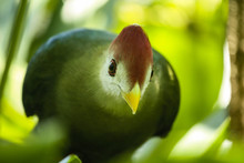 Close-up Of Red-crested Turaco