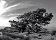 Windswept Tree At Beach