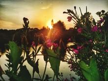 Wildflowers On Lakeshore At Sunset