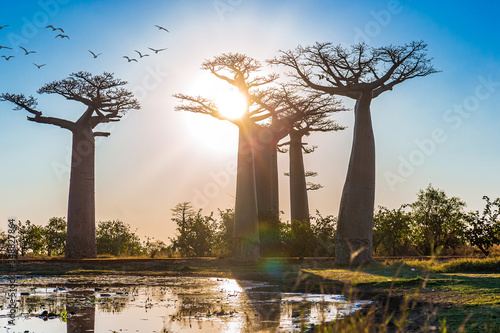 Beautiful Baobab trees at sunset at the avenue of the baobabs in Madagascar Canvas-taulu