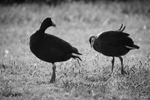 Two Ducks In Meadow