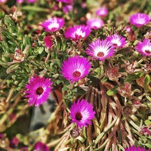 High Angle View Of Pink Mesembryanthemums Blooming At Park