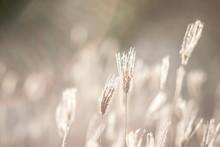 Dry Swollen Finger Grass Flowe...