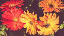 Close-up Of Fresh Wet Gerbera Daisy Flowers