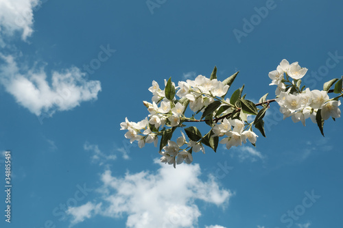 Photo A branch of a blossoming jasmine bush against a blue sky
