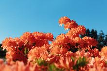Bush Of Delicate Orange Flower...