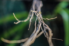 Orchid Plant Roots.