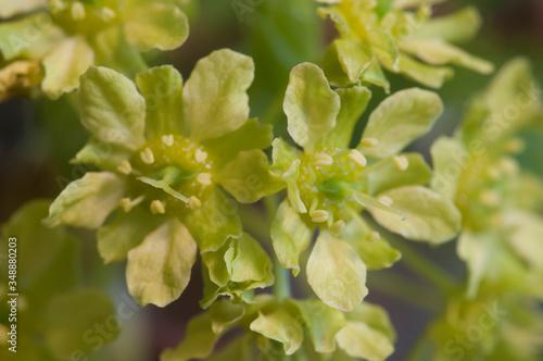 Norway maple (Acer platanoides) flowers Wallpaper Mural