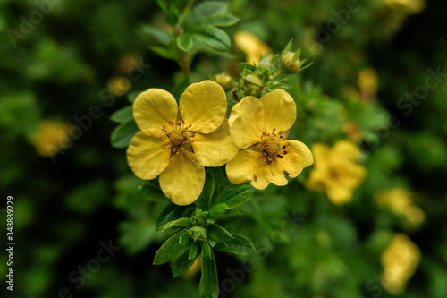 yellow potentilla flowers are in the park Fototapet