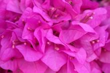 Beautiful Purple Blossom Of A Bougainvillea Flowers