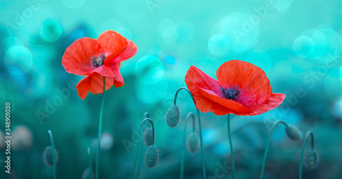 Fototapeta Poppy flowers isolated on green blur background.