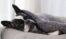 Close-up Of Boston Terrier Rel...