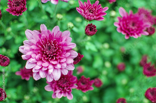 Fotografie, Obraz Close-up Of Pink Dahlia Blooming Outdoors