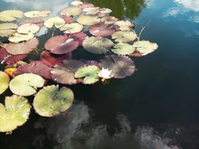 High Angle View Of Lily Pads Floating In Pond