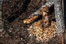 Birch Felled By Beaver, Pieces Of Wood In The Ground, Early Spring