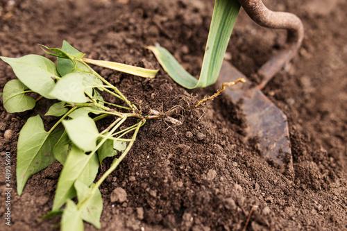 Manual weed control Canvas-taulu
