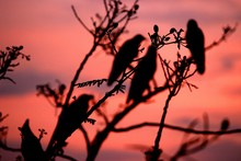 Low Angle View Of Silhouette Birds Perching On Tree At Sunset