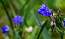 Close-up Of Blue Spiderwort Fl...