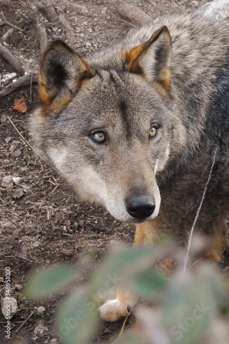Carta da parati lupo (Canis lupus) primo piano sguardo