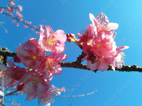 Fototapety, obrazy: Low Angle View Of Pink Flowers Growing On Tree During Springtime