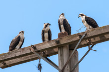 Four Young Osprey Sitting On H...