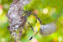 Mother Bird Feeding The Baby I...