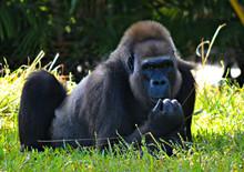 Gorilla Resting On Grassy Field