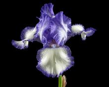 Blue White Striped Flower Of I...