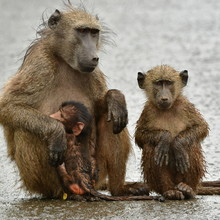 Cute Wet Chacma Baboons During...