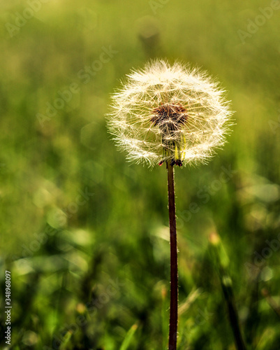 Wiosenny dmuchawiec - 348968097