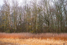 Deciduous Forest Trees, Dry Reeds And Cattail On A Winter Day.