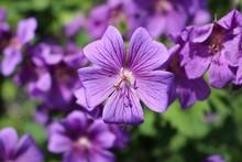 Purple Flowers Blooming In Garden