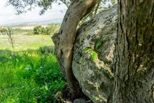 Close Up Of Big Rock Stuck Among Olive Trees