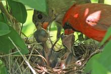 Close-up Of Cardinal Family Fe...
