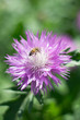 canvas print picture - A bee sits on a flower on a blurry green background.