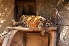 Panthera Tigris Sumatrae - Sum...