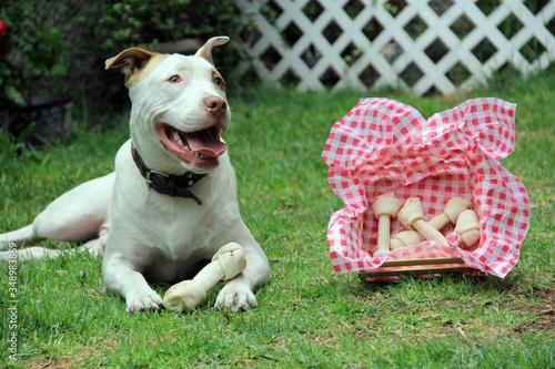 Photo Perro pit bull blanco de manchas café feliz con su hueso