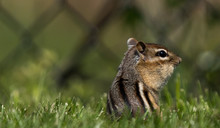 Chipmunk In The Grass With Str...